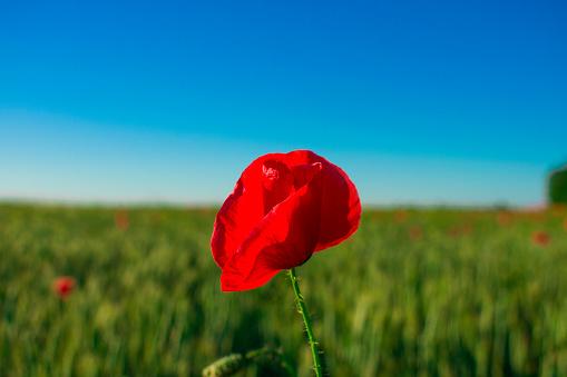 Bloemen Rode Papavers Bloesem Op Wilde Velden Mooie Veld Rode Papavers Met Selectieve Aandacht Zacht Licht Toning Stockfoto en meer beelden van Blauw
