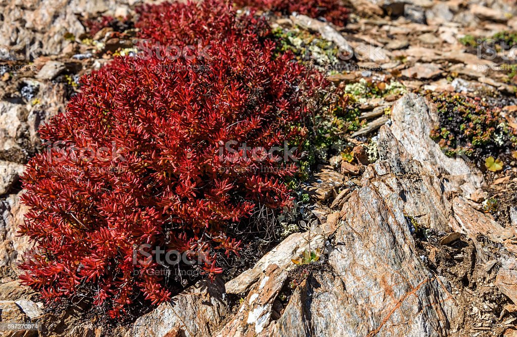 flowers Rhodiola rosea roseroot mountains royalty-free stock photo