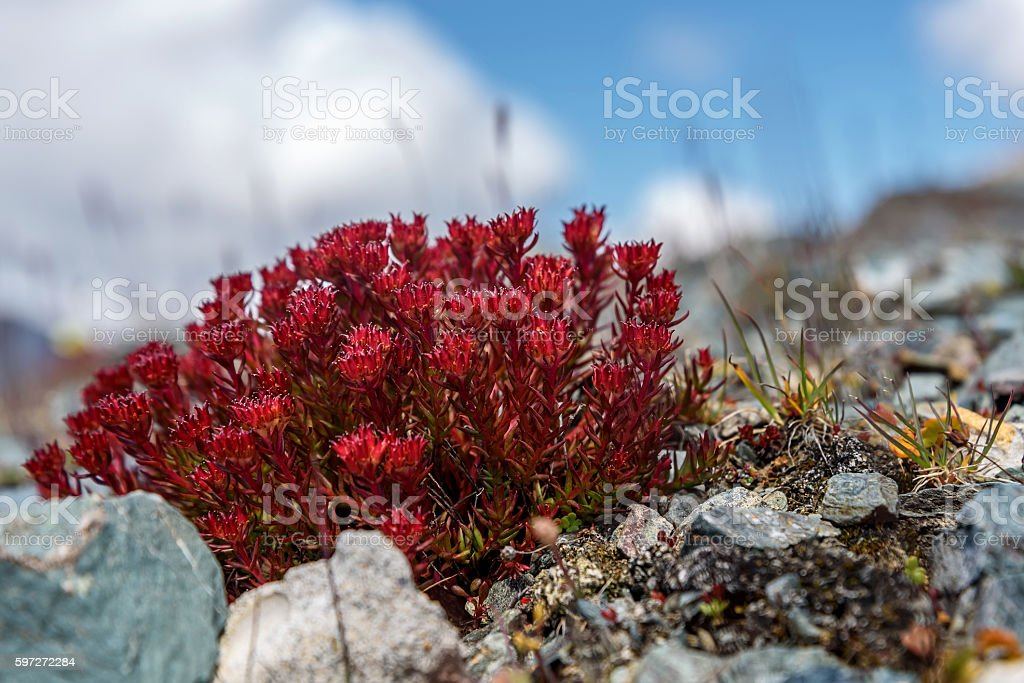 flowers Rhodiola rosea roseroot mountains Lizenzfreies stock-foto