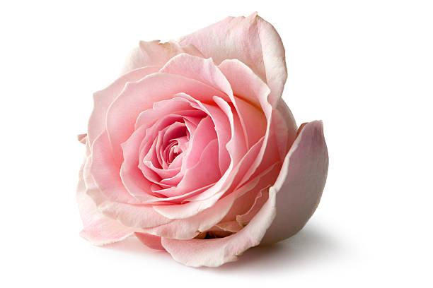 kwiaty: rose - różowy zdjęcia i obrazy z banku zdjęć