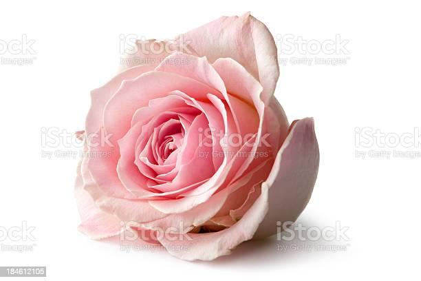 Photo of Flowers: Rose Isolated on White Background