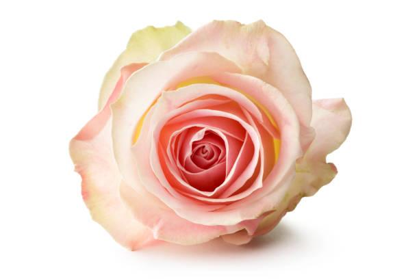 Flowers rose isolated on white background picture id665417682?b=1&k=6&m=665417682&s=612x612&w=0&h=cekhnw8nj8woop9r3jjqqd1wyndjxa3vjth8m smtfm=