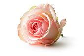 Flowers: Rose Isolated on White Background