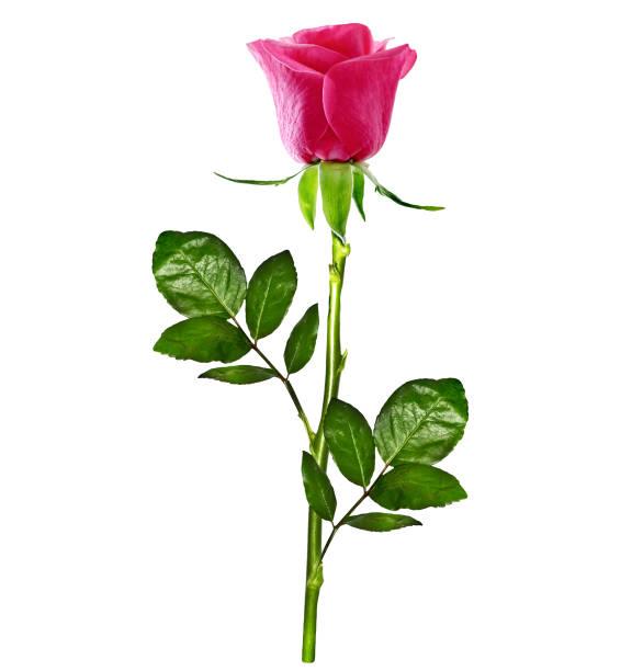 Flowers roses holiday card picture id1164887763?b=1&k=6&m=1164887763&s=612x612&w=0&h=ro3lbof5r0ykfkr0m0zsigyplxbqs7xx nwohfll0pk=