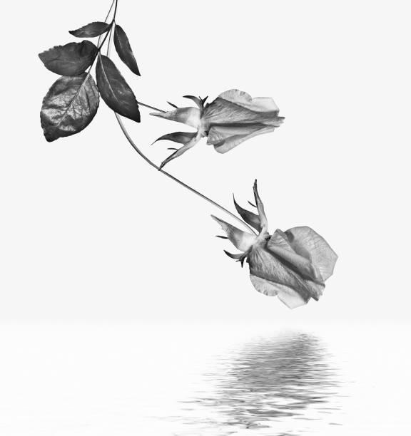 Flowers roses picture id1164887065?b=1&k=6&m=1164887065&s=612x612&w=0&h=v1lgtxrt3dmjbkyjvacltbvzat5x9th7dktsfdpdh34=