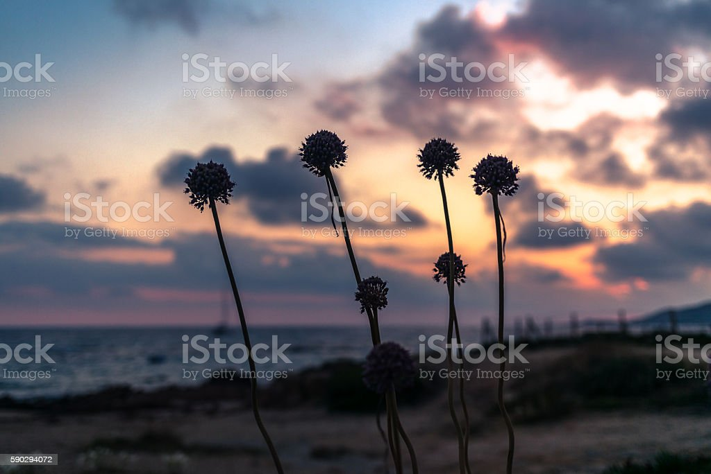 Flowers silhouettes on the shore in Corsica at sunset royaltyfri bildbanksbilder