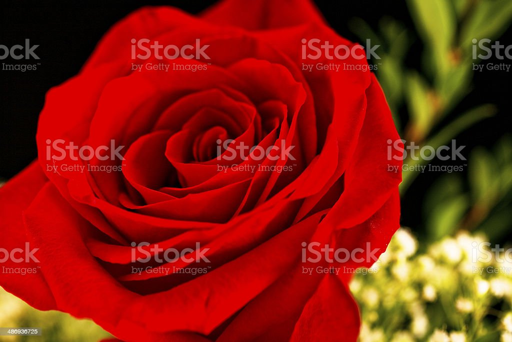 Flowers Single Red Rose Floral Arrangement On Black