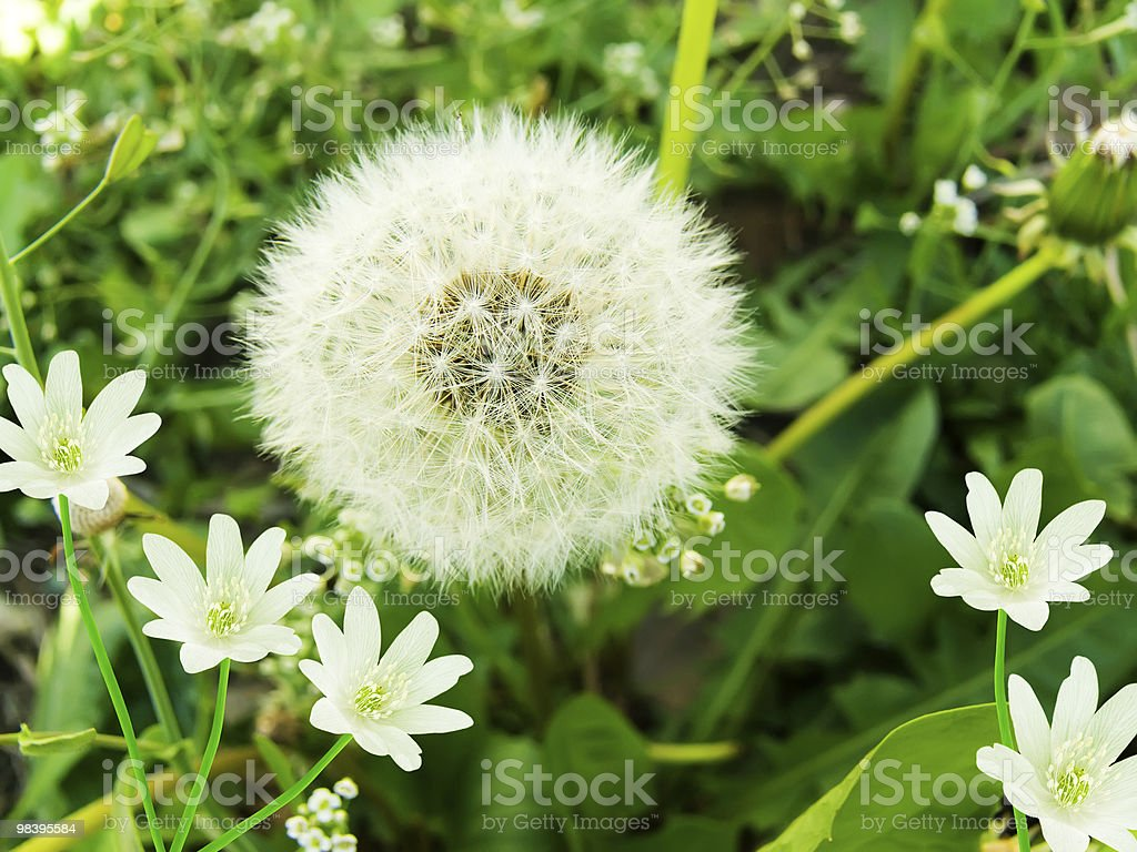 Flowers  snowdrops   dandelion royalty-free stock photo