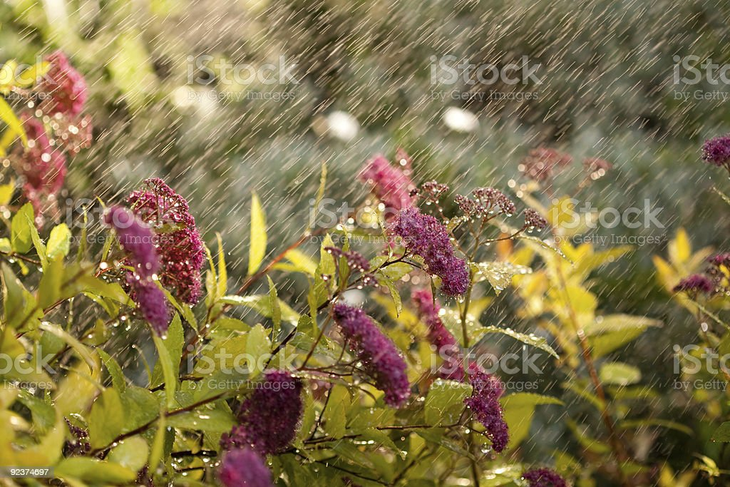 Flowers sprayed drencher royalty-free stock photo