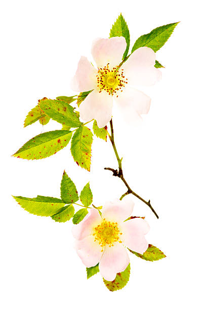 Flowers Stem And Leaves Of The Dog Rose Rosa Canina  wild rose stock pictures, royalty-free photos & images