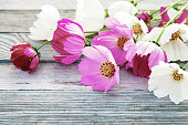 flowers style image for design, beautiful cosmos flowers on gray wooden background - pink, crimson and white Cosmos flowers lying on old gray wood