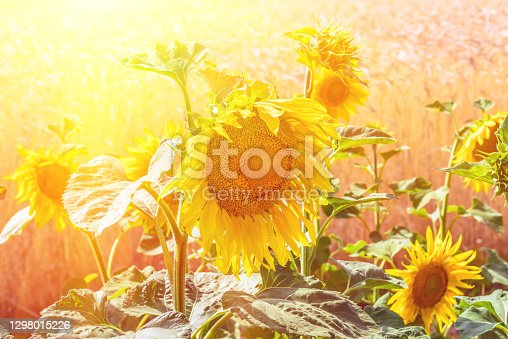Flowers sunflower closeup and wheat field. Flowering sunflower flowers. Sunflower from which produce oil. Beautiful agricultural nature background