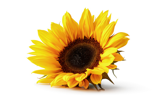 Flowers: Sunflower Isolated on White Background