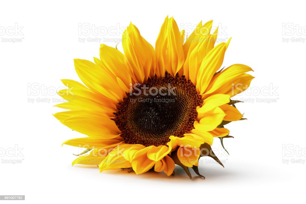 Flowers: Sunflower Isolated on White Background stock photo