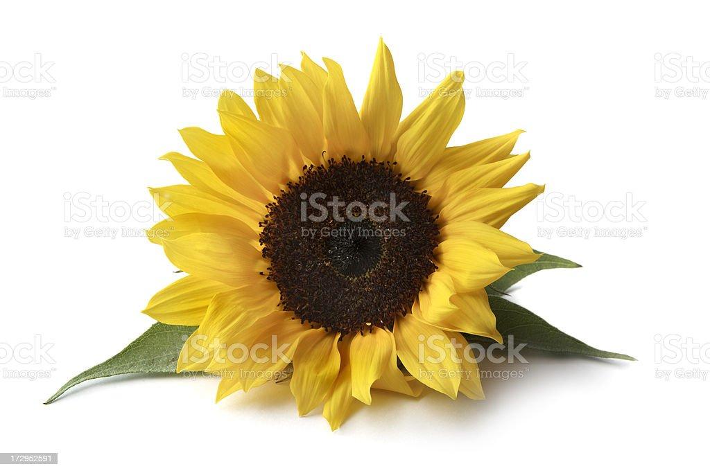 Flowers: Sunflower stock photo