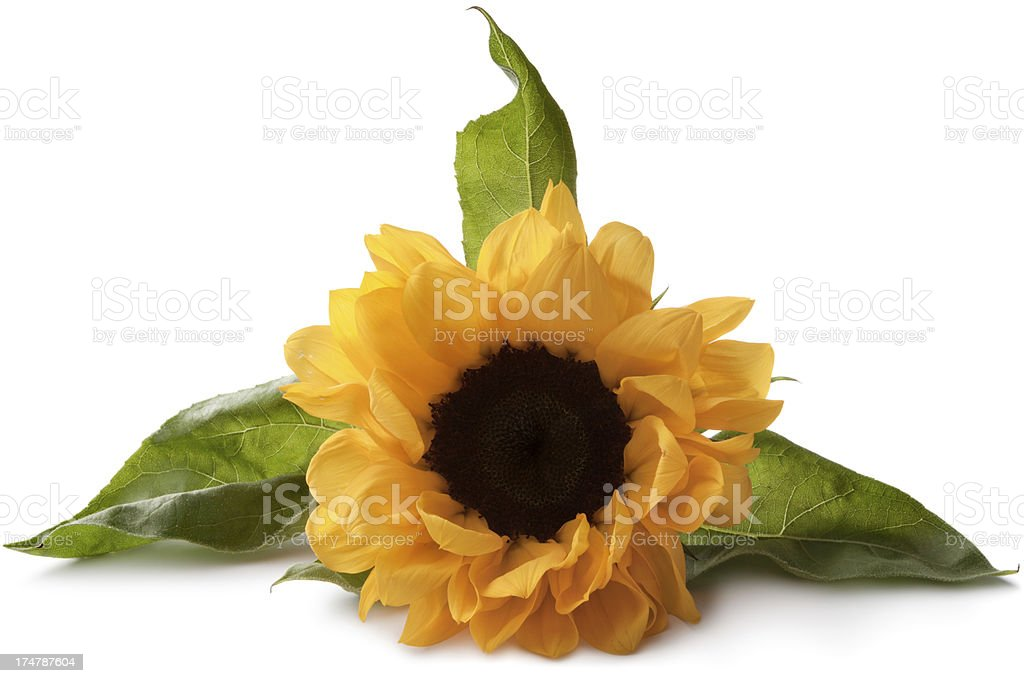Flowers: Sunflower royalty-free stock photo
