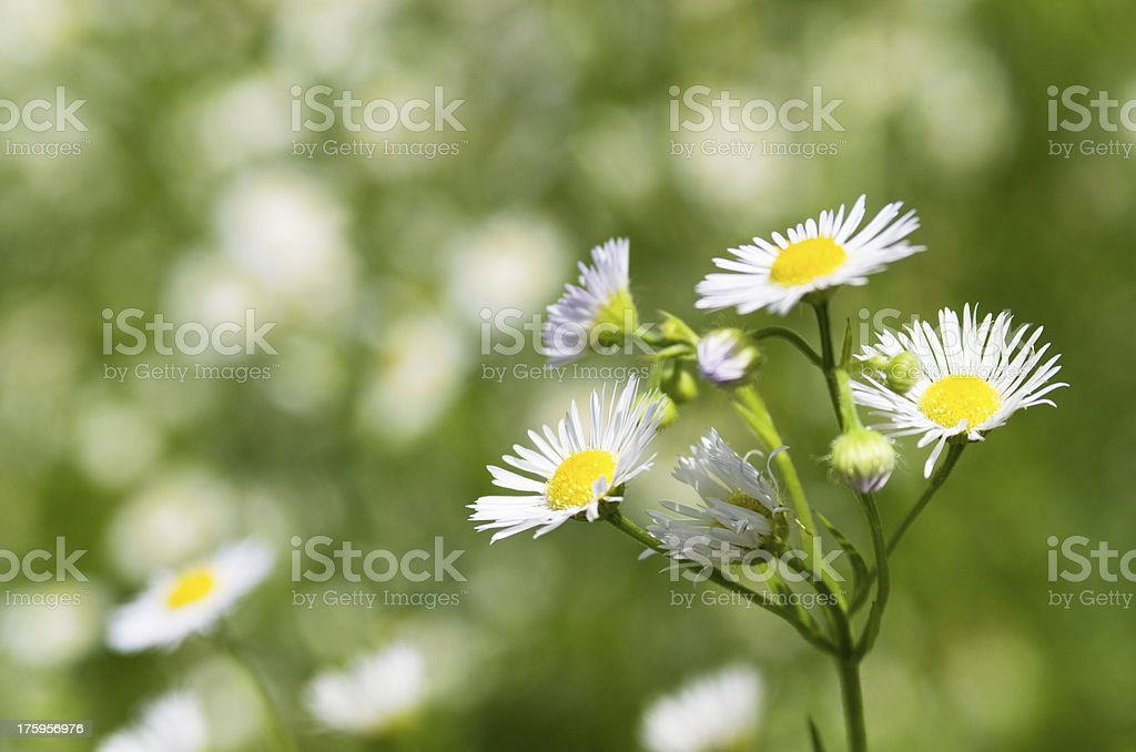 Flowers the field royalty-free stock photo