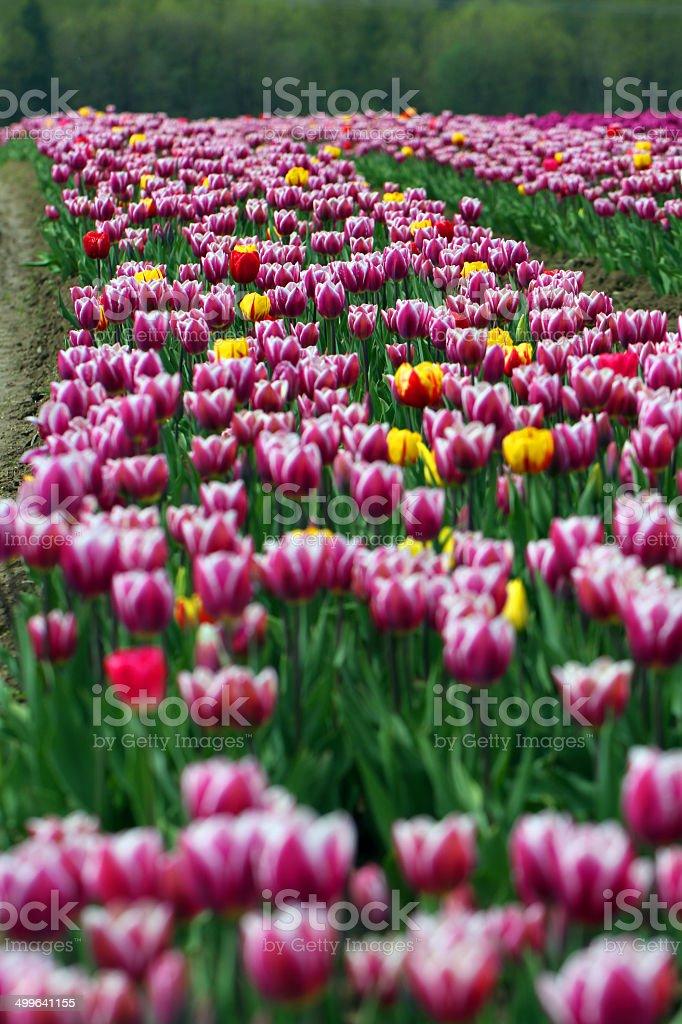 Flowers to the Horizon royalty-free stock photo