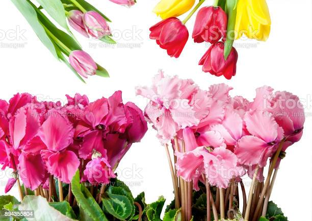 Flowers tulips and cyclamen isolated on white background for with picture id894355804?b=1&k=6&m=894355804&s=612x612&h=pdxauvudlqiqoeafjex2xblkocot6r6 6aywwnko b0=