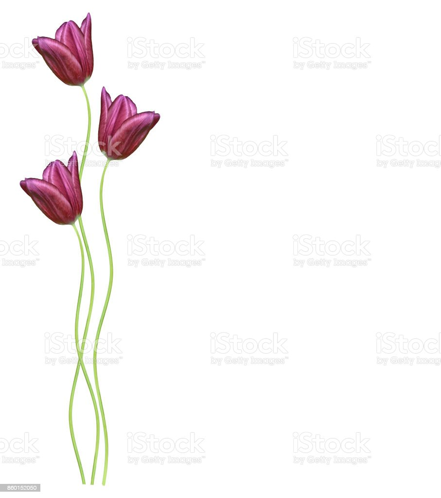 flowers tulips isolated on white background. stock photo
