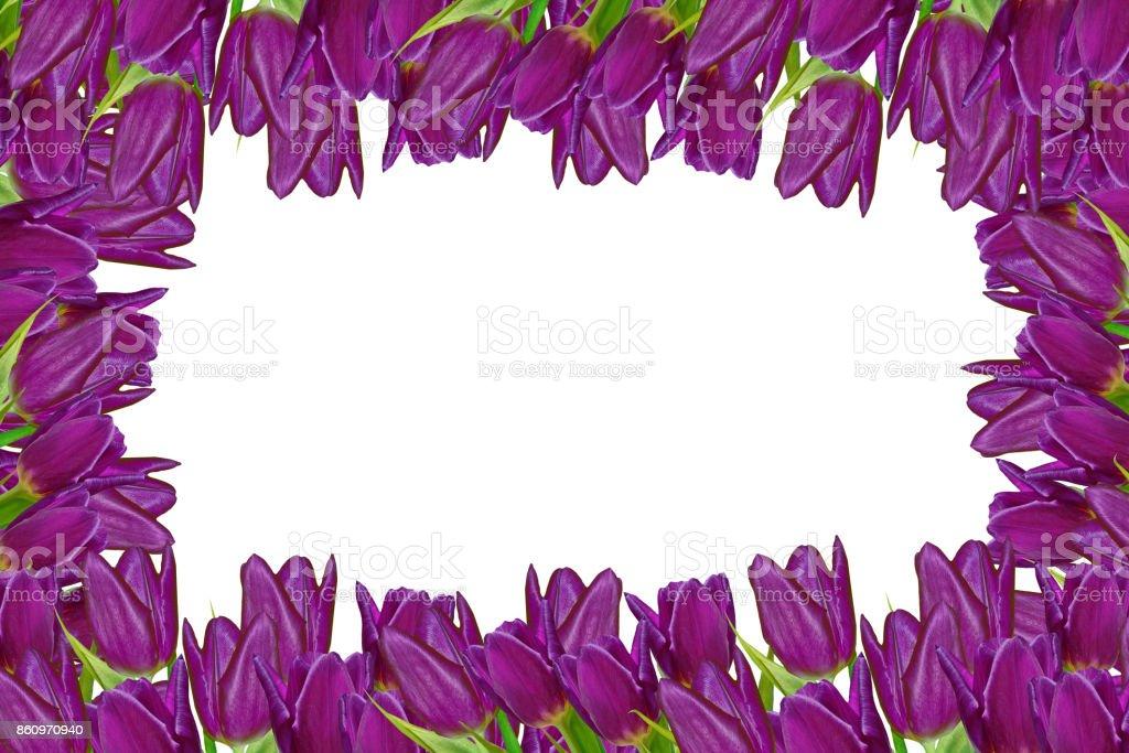 flowers tulips isolated on white background. stock photo
