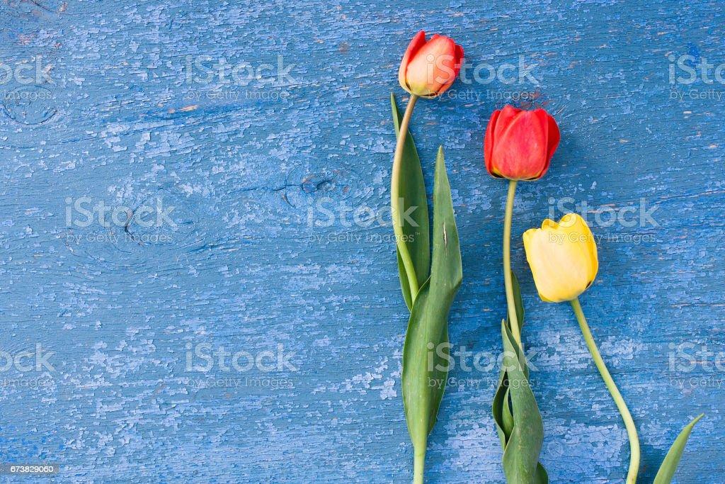 Tulipes de fleurs sur une texture grunge de fond en bois d'une vieille peinture bleue. Une vieille peinture bleue bleue sur une surface en bois. Fond de fleurs sur les couleurs bleus photo libre de droits