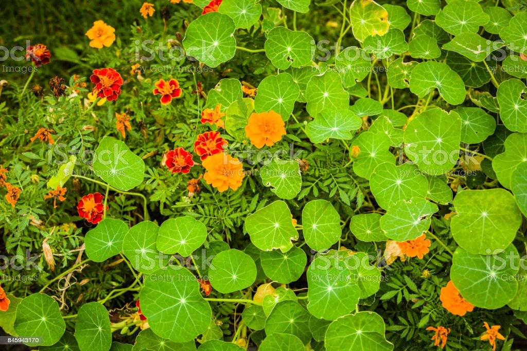 Flowers used in the kitchen: Marigold and nasturtium (Tagetes corymbosa, Tropaeolum majus) stock photo