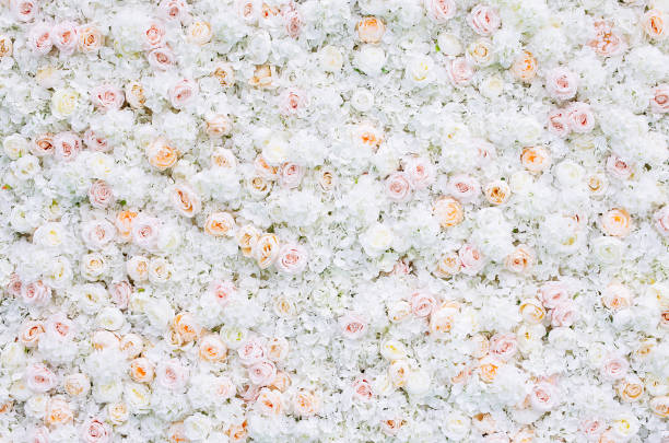 Flowers wall background with white and light orange roses picture id1174304844?b=1&k=6&m=1174304844&s=612x612&w=0&h=h 7dp4tlf1rmswmvkj6buz5aemnoubiuoixu9zso ak=