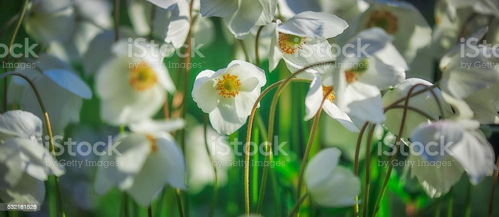 Flowers white anemones stock photo