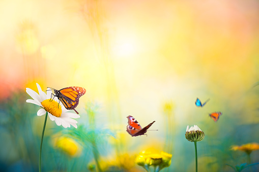 Daisy meadow with butterflies.
