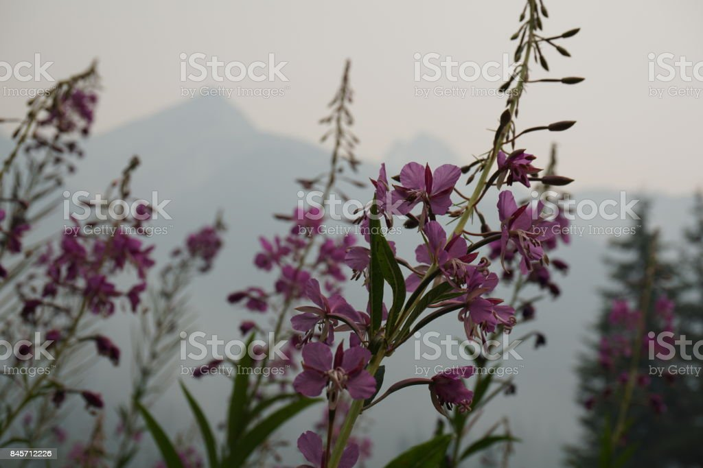 Flowers with Forest Fire Smoke stock photo