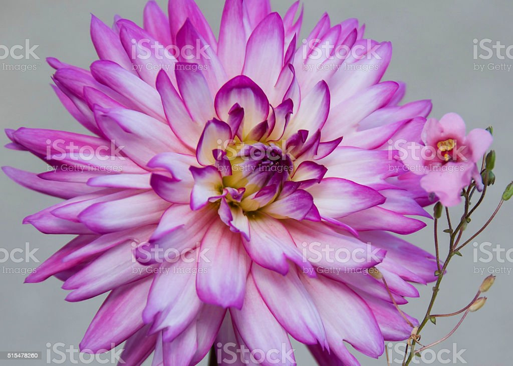 Flowers with petal jetting out in purple and pink stock photo