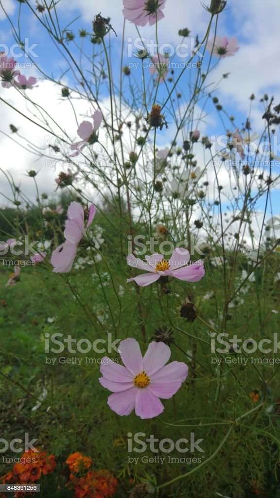 Flowers with purple rings in garden stock photo