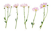 Set of flowers with stems isolated on white background. Collection of fresh floral design elements