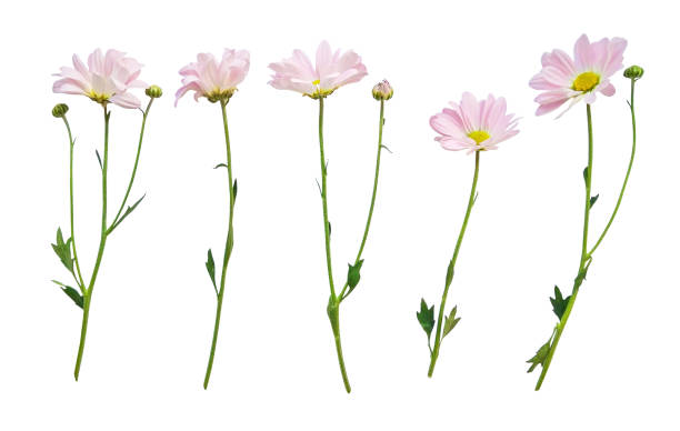 Flowers with stems isolated on white picture id997008626?b=1&k=6&m=997008626&s=612x612&w=0&h=zgbde8wq38jjmyy5scle1p8d3bvukughbh6dog64m0i=