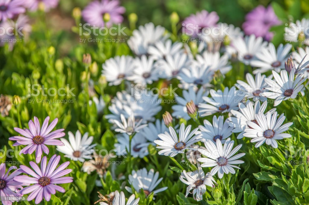 Flowers with white petals stock photo