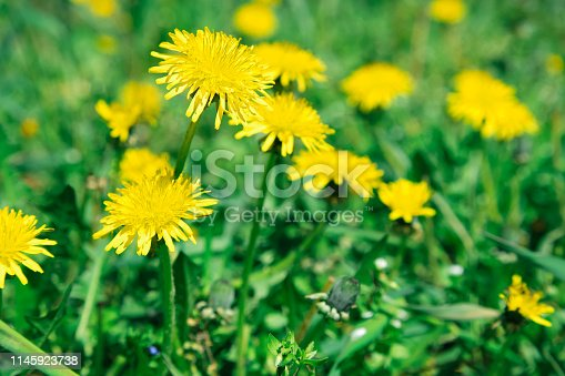 istock Flowers yellow dandelions on a background of green grass 1145923738