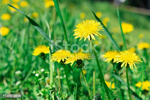 istock Flowers yellow dandelions on a background of green grass 1145923938