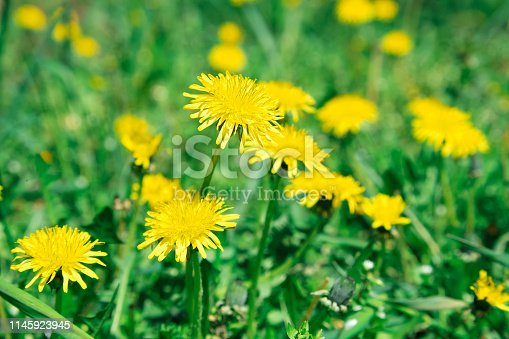 istock Flowers yellow dandelions on a background of green grass 1145923945