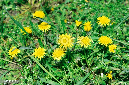 istock Flowers yellow dandelions on a background of green grass 1145924161