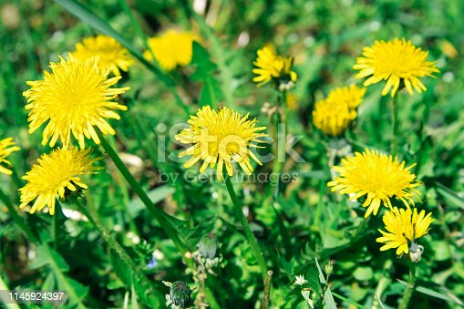 istock Flowers yellow dandelions on a background of green grass 1145924397