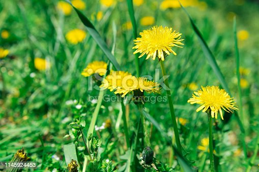 istock Flowers yellow dandelions on a background of green grass 1145924453