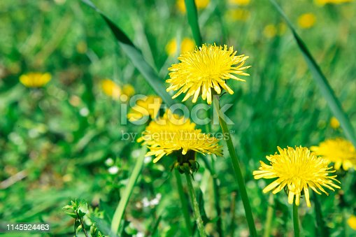 istock Flowers yellow dandelions on a background of green grass 1145924463