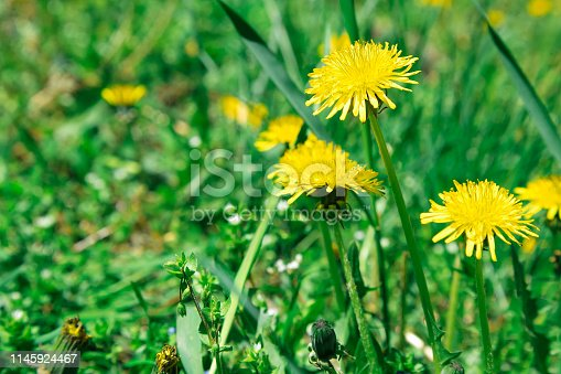 istock Flowers yellow dandelions on a background of green grass 1145924467