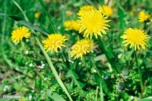 istock Flowers yellow dandelions on a background of green grass 1145924565