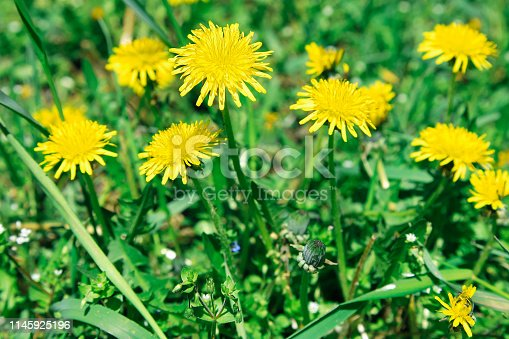 istock Flowers yellow dandelions on a background of green grass 1145925196