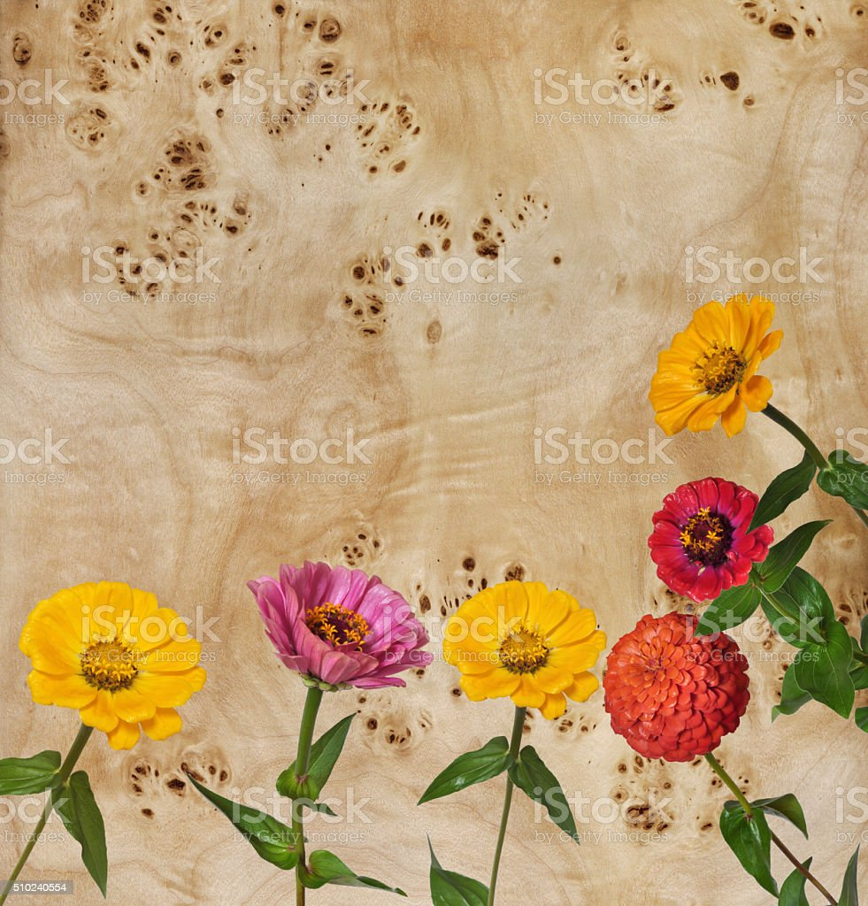 Flowers Zinnia and root of a poplar stock photo