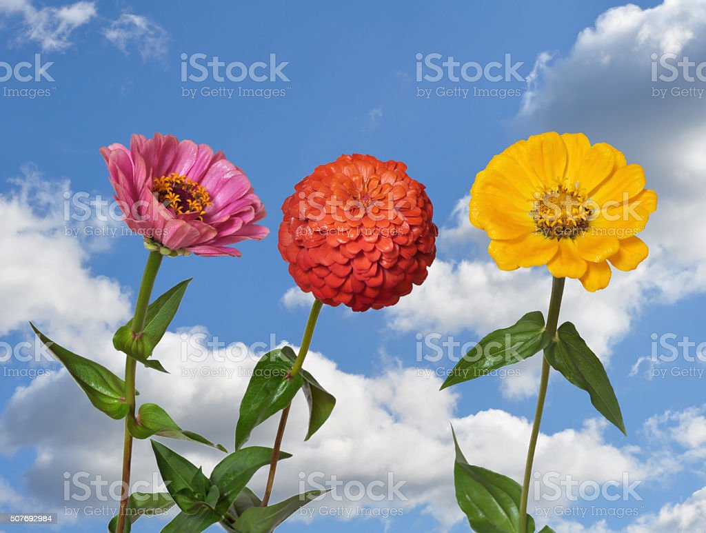 Flowers Zinnia and sky stock photo