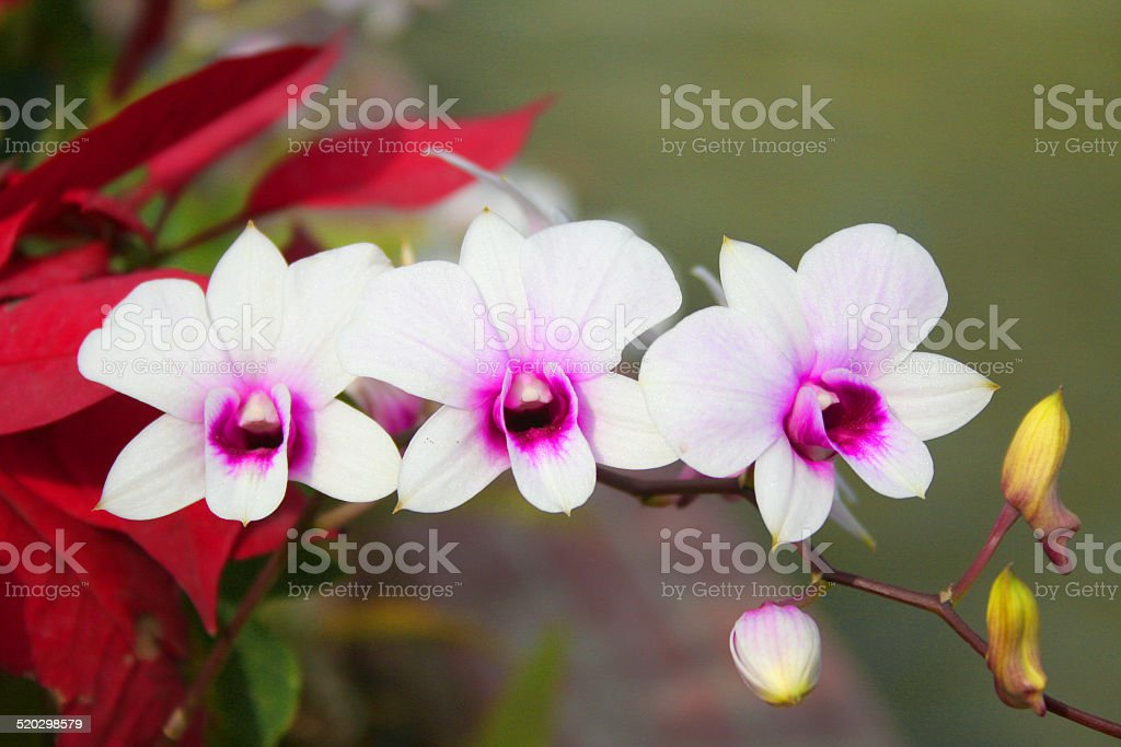 Flowers,Dendrobium stock photo