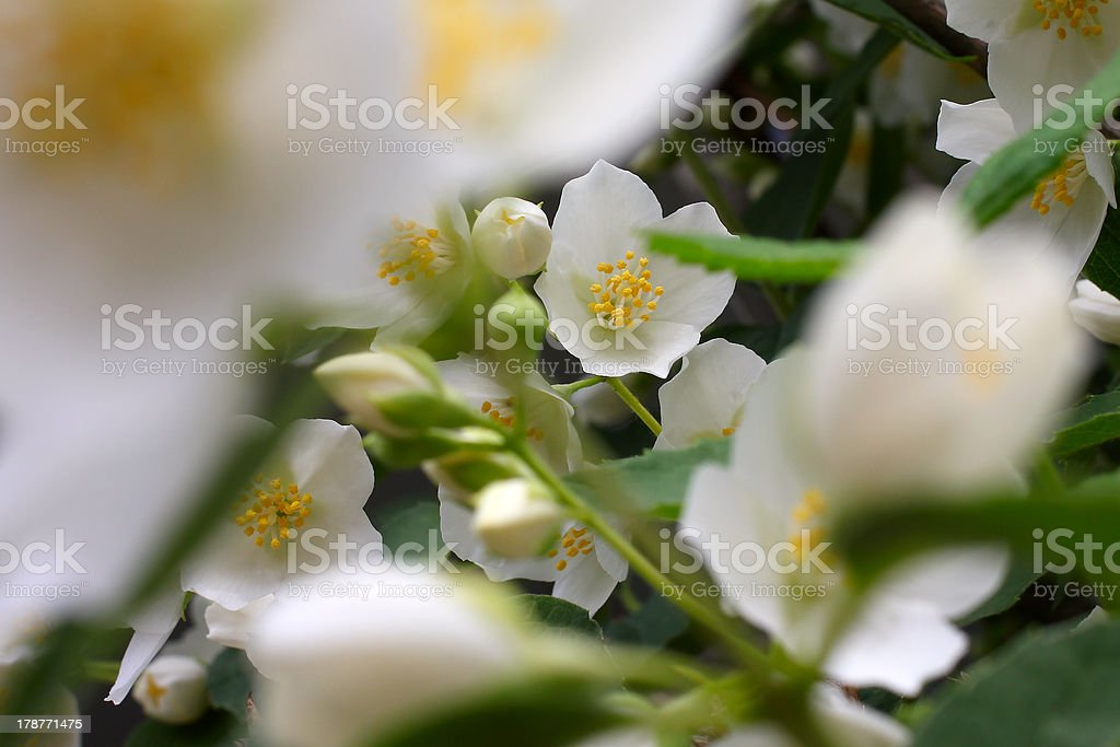 flowerses jasmine royalty-free stock photo